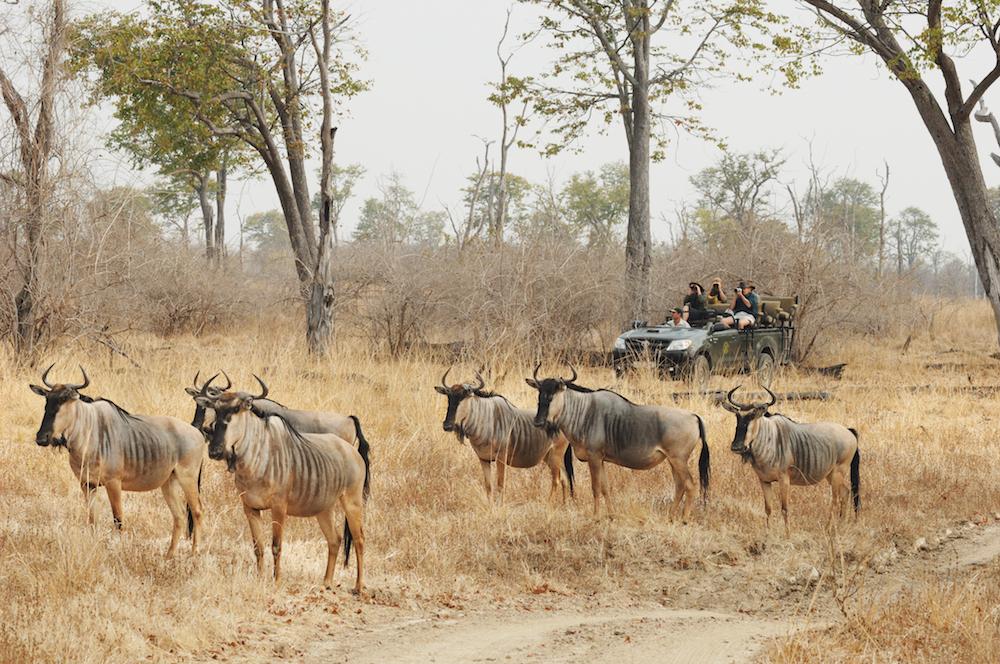 Cooksons wilderbeast mit Shenton safaris