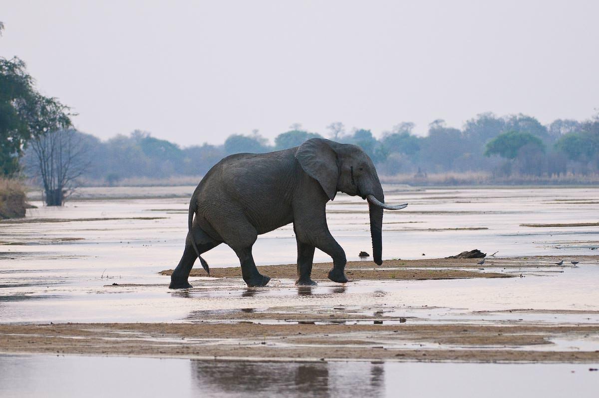 elephant in Luangwa bushcamp company