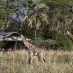 Giraffe vor chem chem safari zelt
