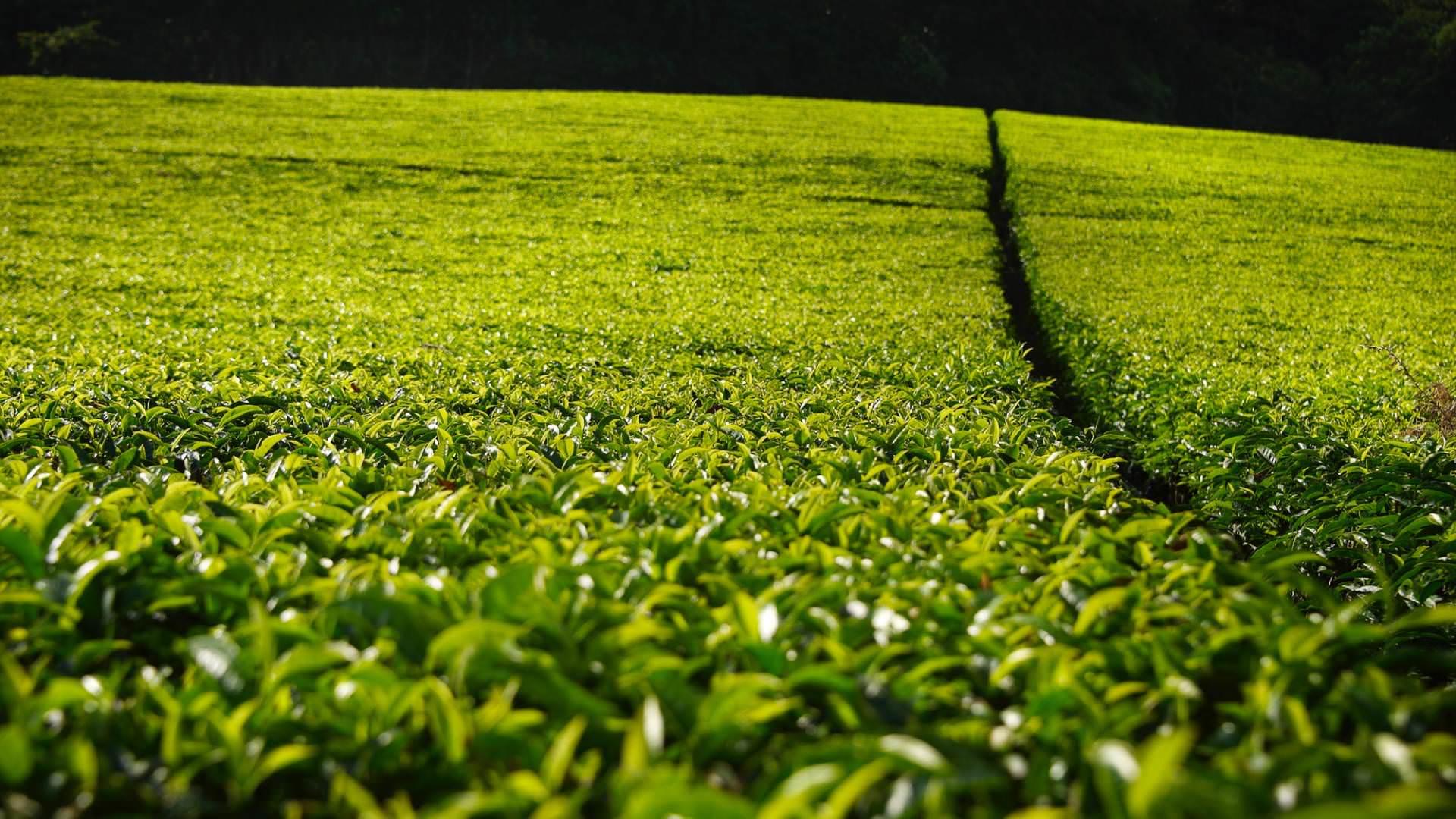 Huntingdon House Satemwa Tea Estate Malawi