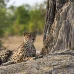 Cheetah Hwange-National-Park-Zimbabwe