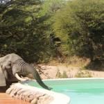 elephant trinkt vom jongamero schwimmbad