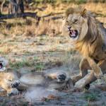 Lions Playing Okavango Khwai