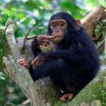Großartige Schimpansesichtungen