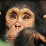 mahale chimpanzen tansania