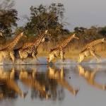 Giraffe beim trinken Motswiri Camp Botswana