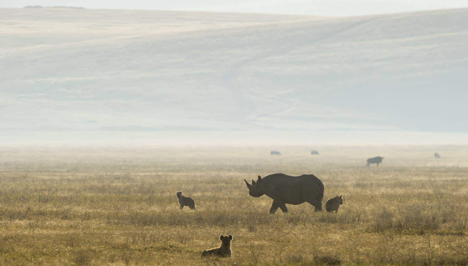 Black rhino Hyena in Ngorongoro