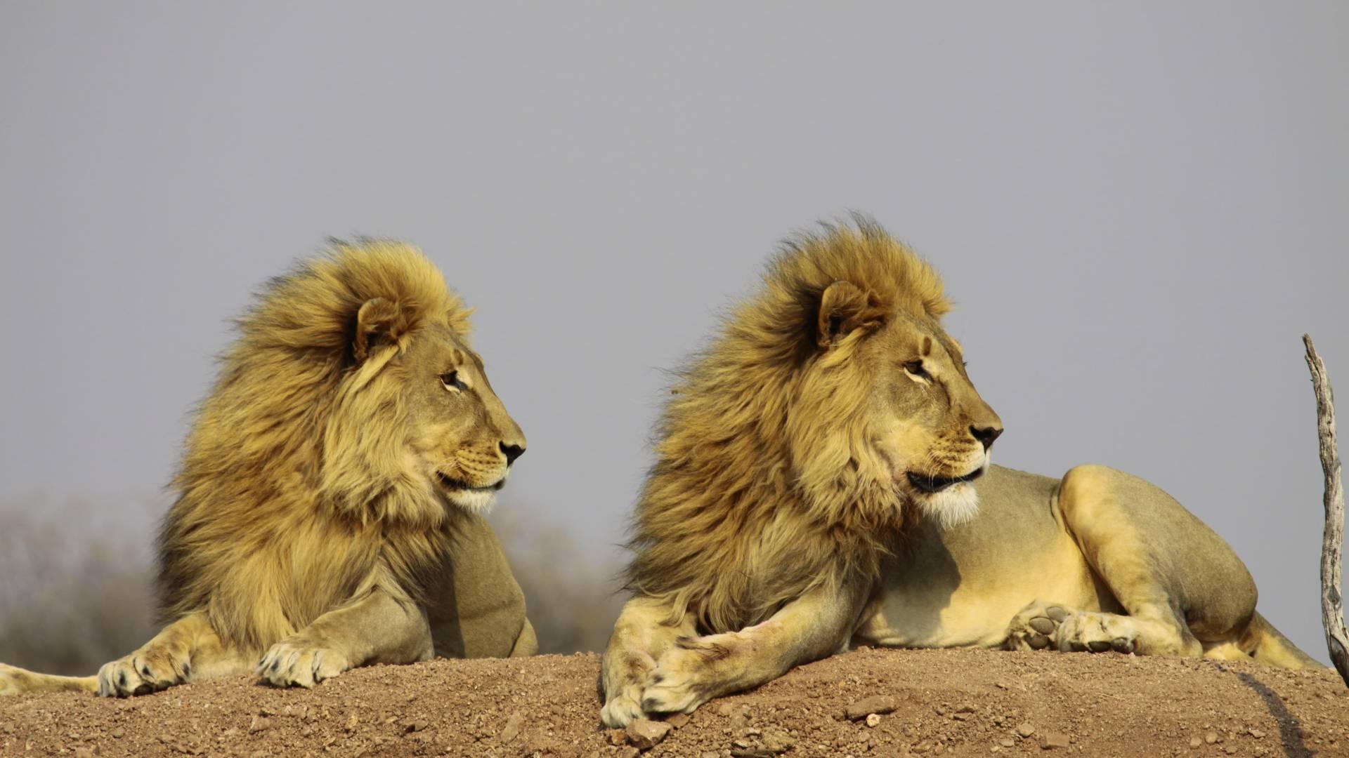 Prächtige Löwensichtungen