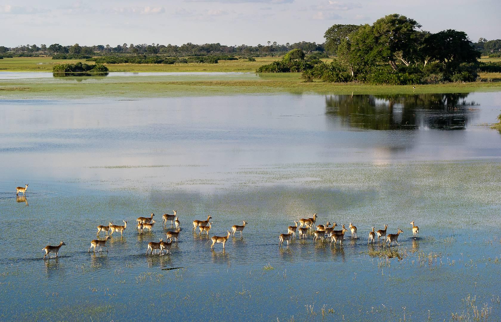 lechwe im okavango delta pelo camp