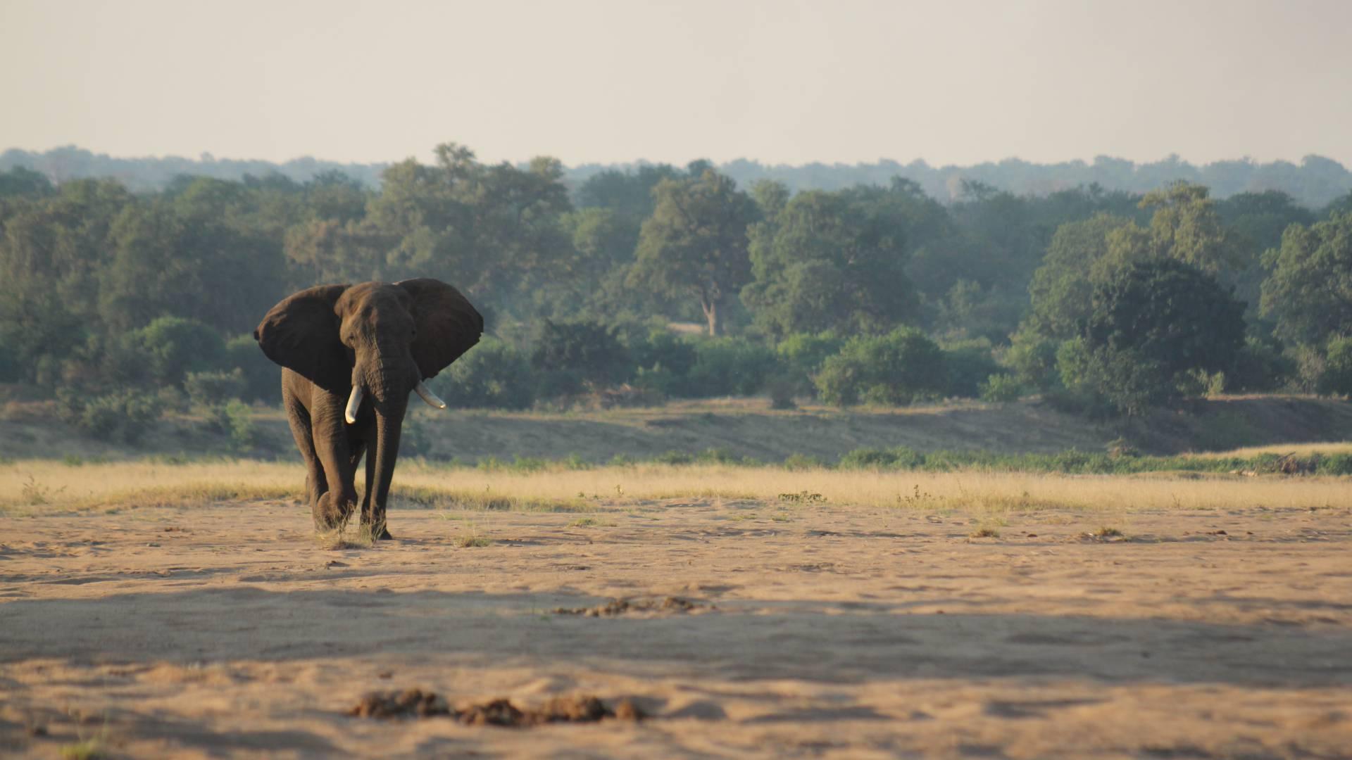 Elephant bull with gonarezhou bushcamps simbabwe