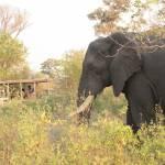 Elephant Game drive pom pom