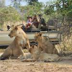 Lions on game drive with potato bush camp lower zambezi zambia