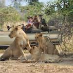 Lions on game drive with potato bush camp lower zambezi zambia