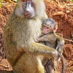 Verschiedene Primatenarten