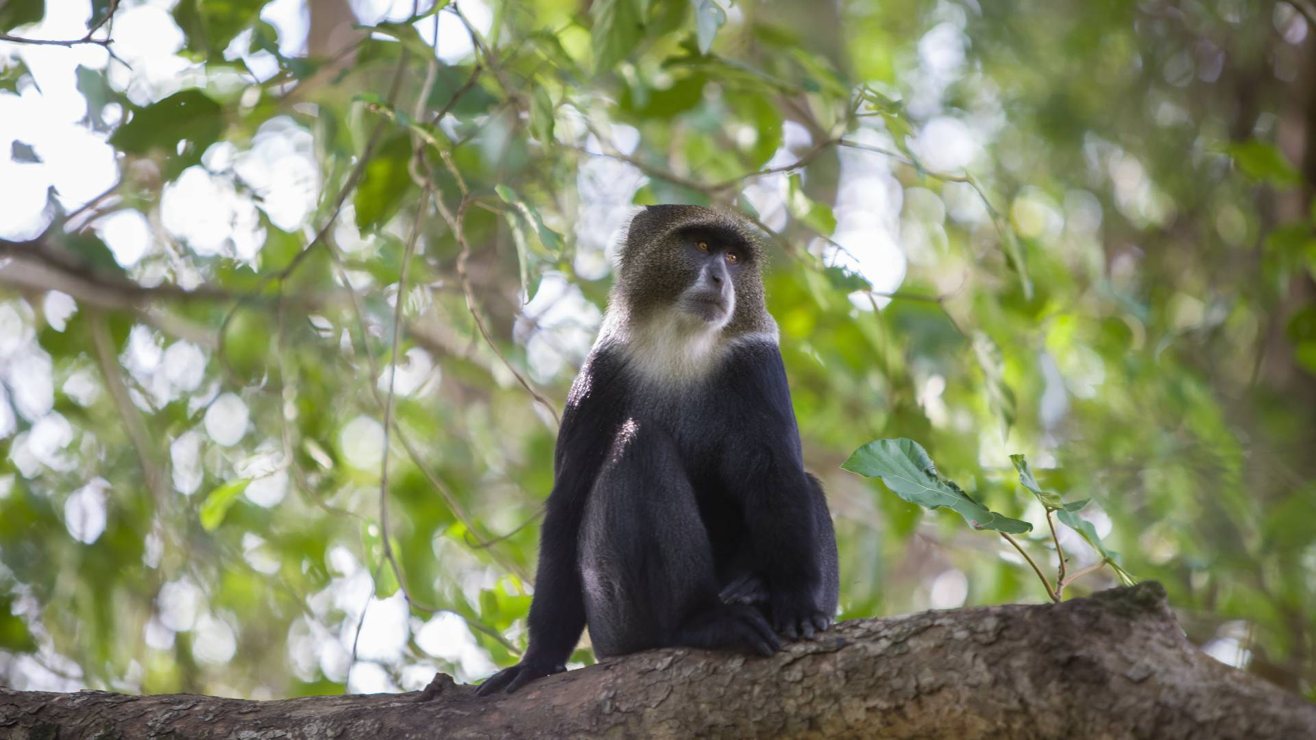 Colubus monkey rivertrees