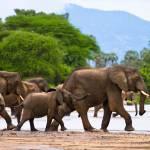 Elephanten im fluss ruaha