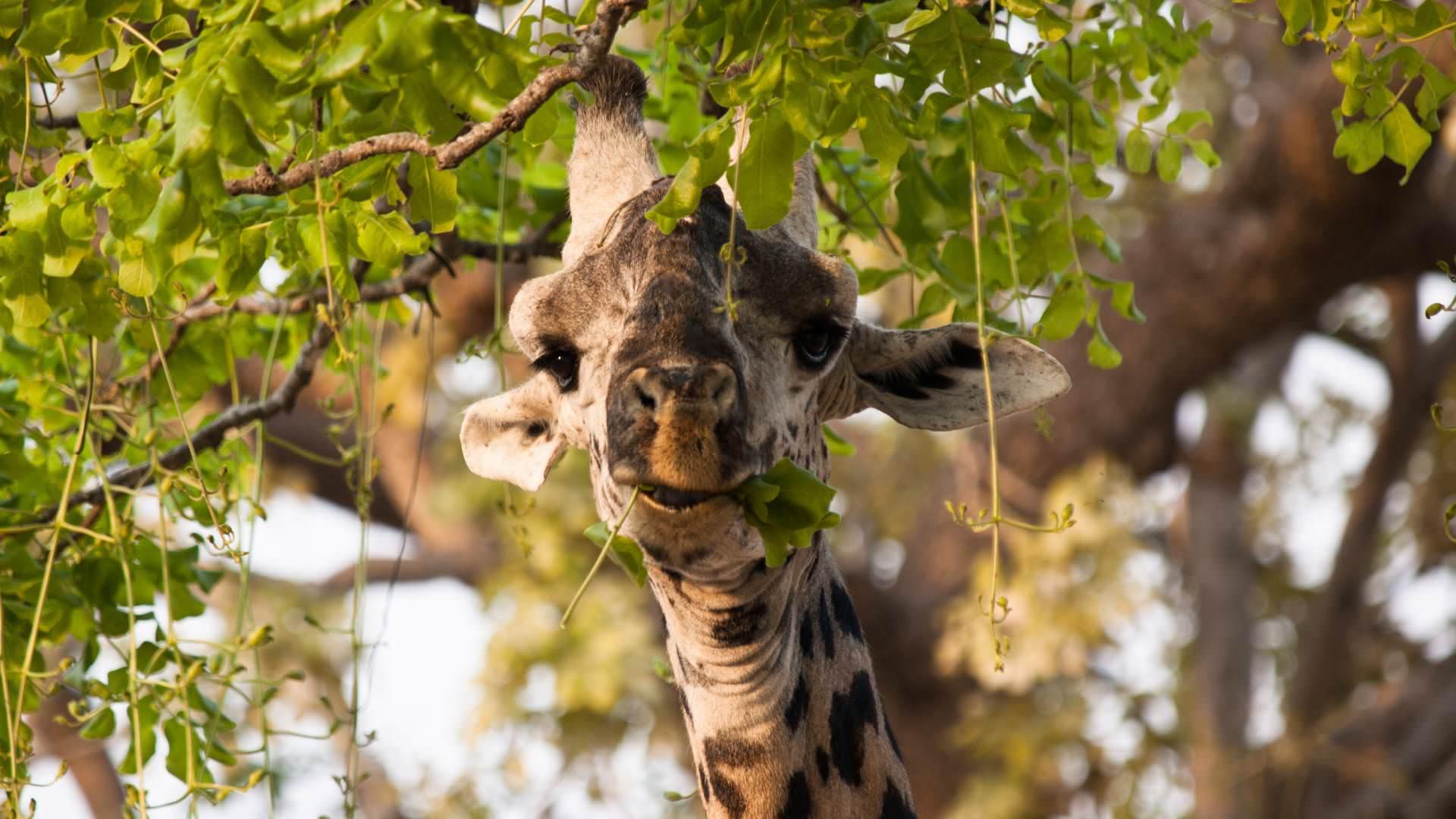 thornicrofts Giraffe luangwa valley zambia pintoafrica.com