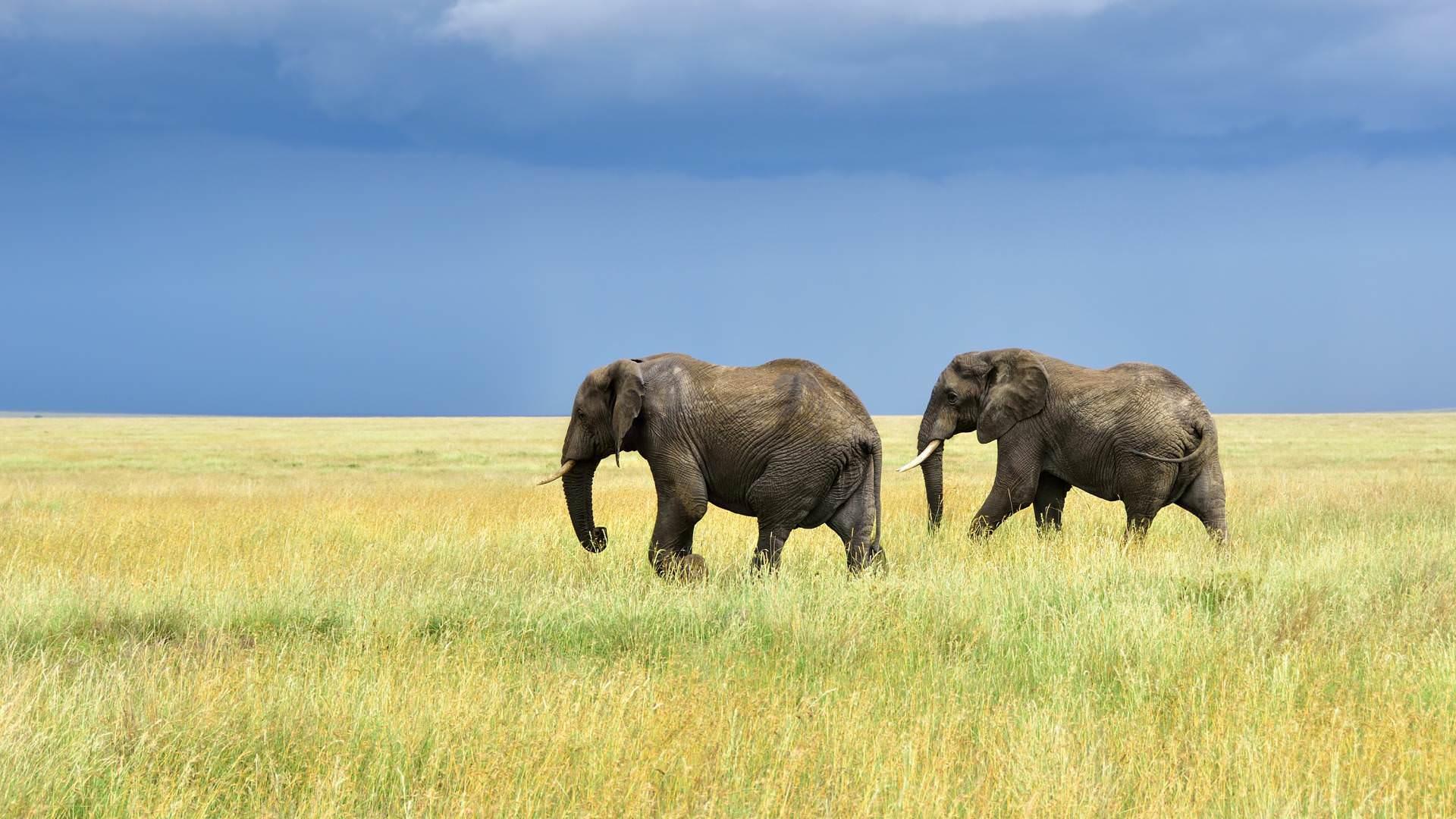 African elephants serengeti tanzania pintoafrica.com