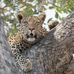 Africa Botswana leopard in a tree.Pintoafrica.com