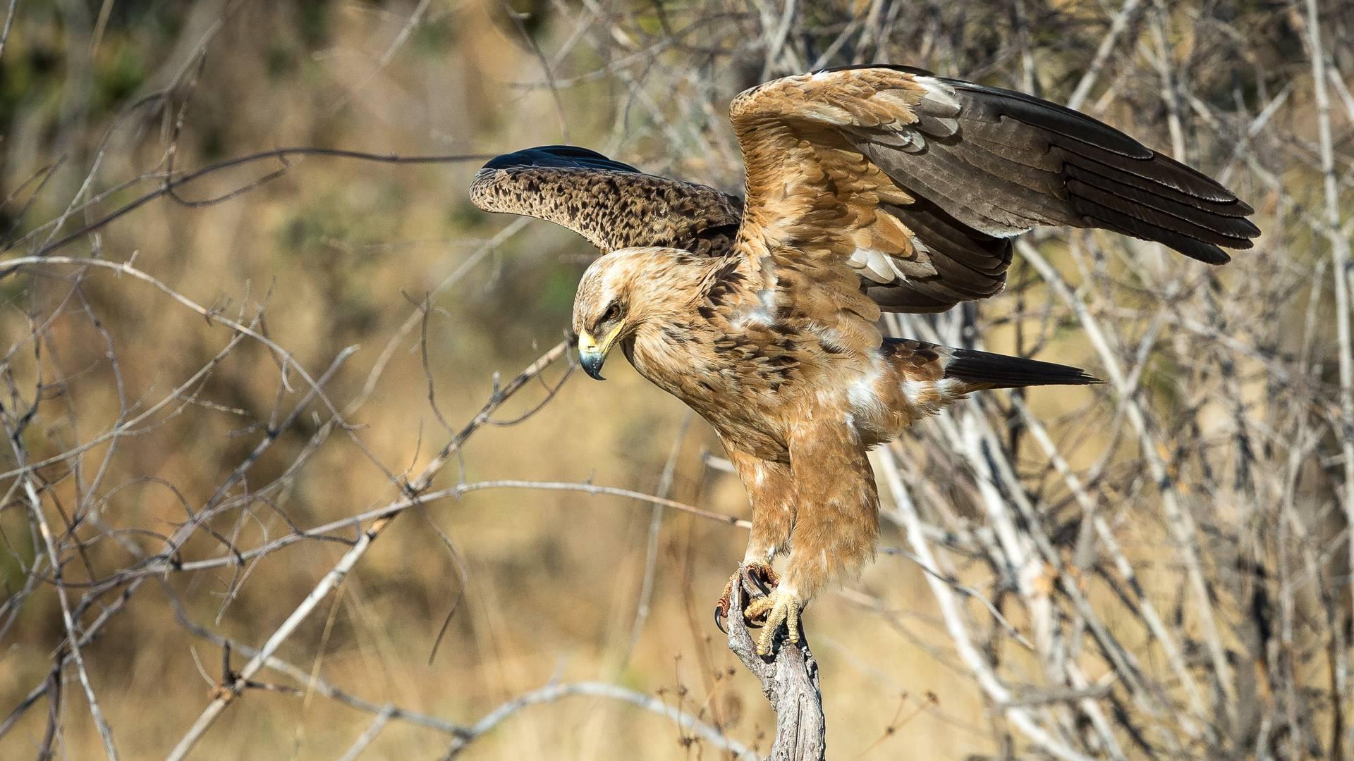 Tawny eagle in savuti