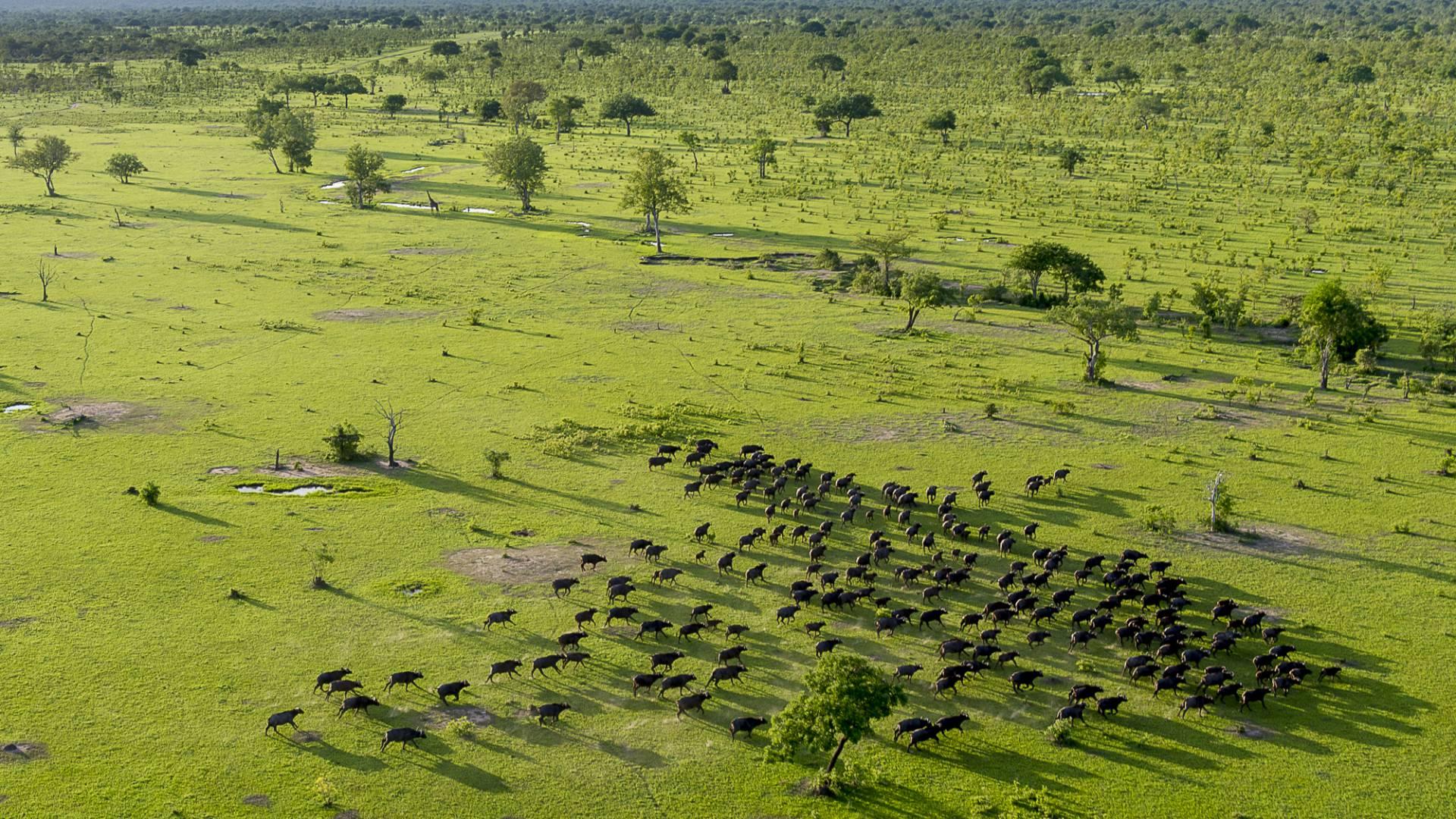 Buffalo im selous wild reservat