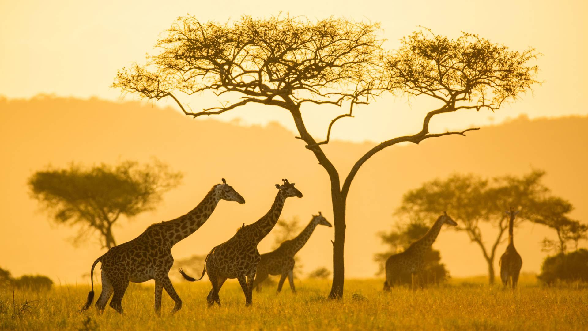 Giraffen seregeti pioneer camp
