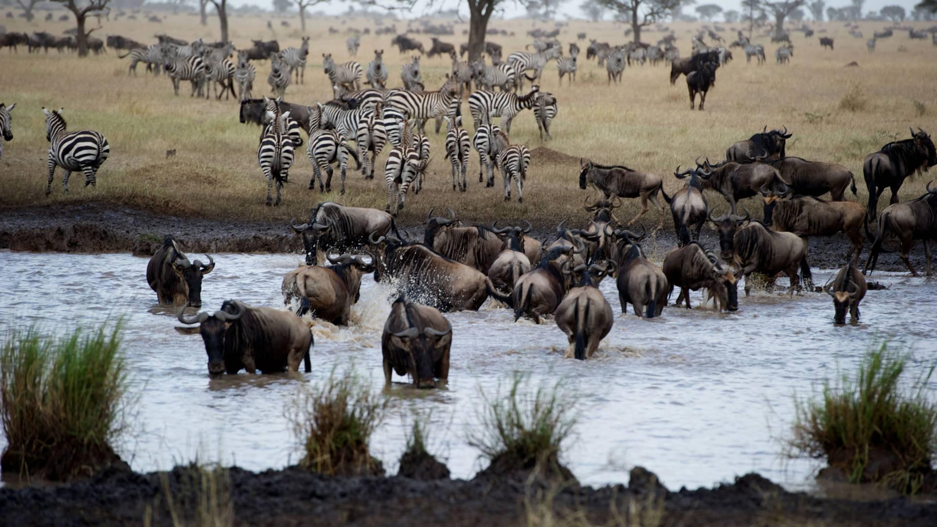 gnu zebra mara fluss serengeti