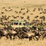 Wilderbeest im serengeti - pfirschfahrt
