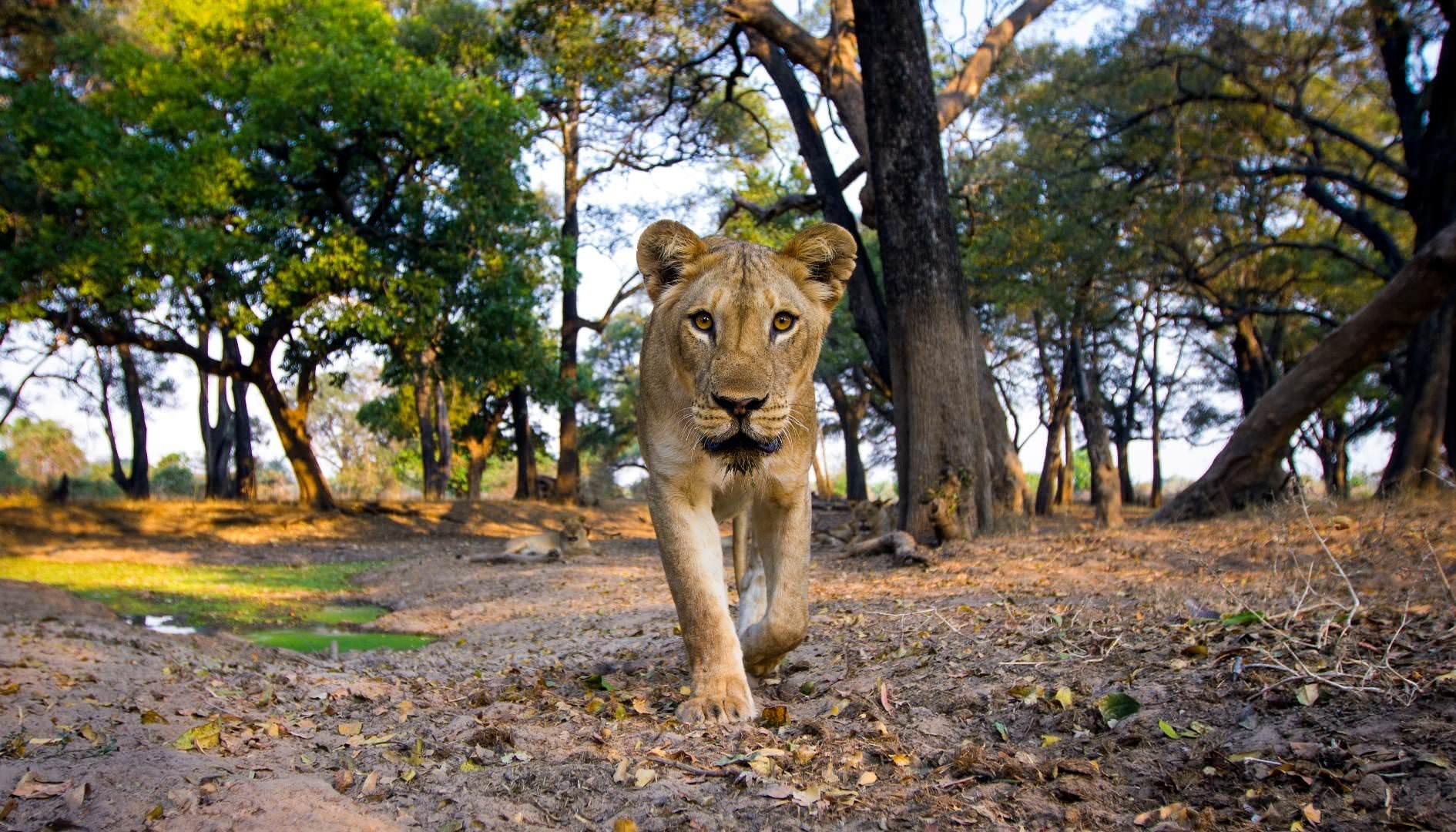 Lowe luangwa sambia mit pintoafrica.com