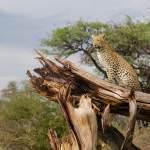 Jaguar Safari Pinto Africa